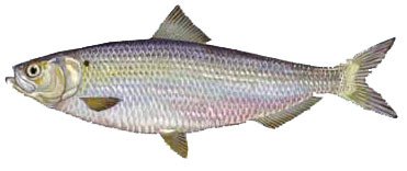 Stripers unlimited inc fishing guide service on clark for Big mohawk fishing boat